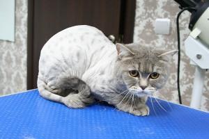 Стрижка кошек2